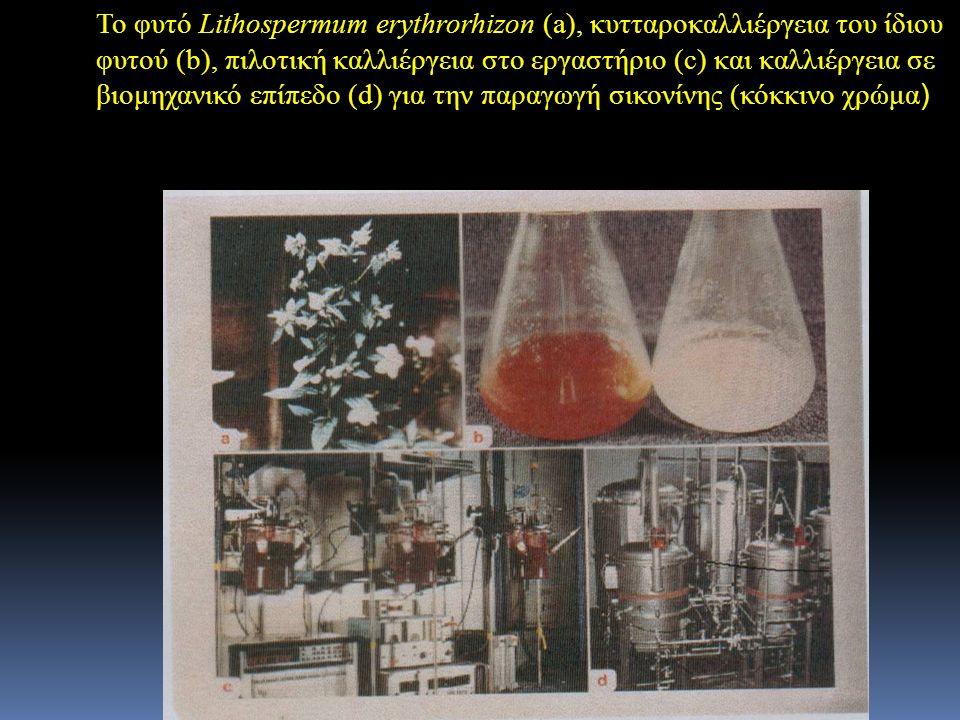 Το φυτό Lithospermum erythrorhizon (a), κυτταροκαλλιέργεια του ίδιου φυτού (b), πιλοτική καλλιέργεια στο εργαστήριο (c) και καλλιέργεια σε βιομηχανικό