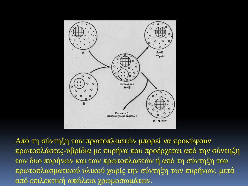 Από τη σύντηξη των πρωτοπλαστών μπορεί να προκύψουν πρωτοπλάστες-υβρίδια με πυρήνα που προέρχεται από την σύντηξη των δυο πυρήνων και των πρωτοπλαστών