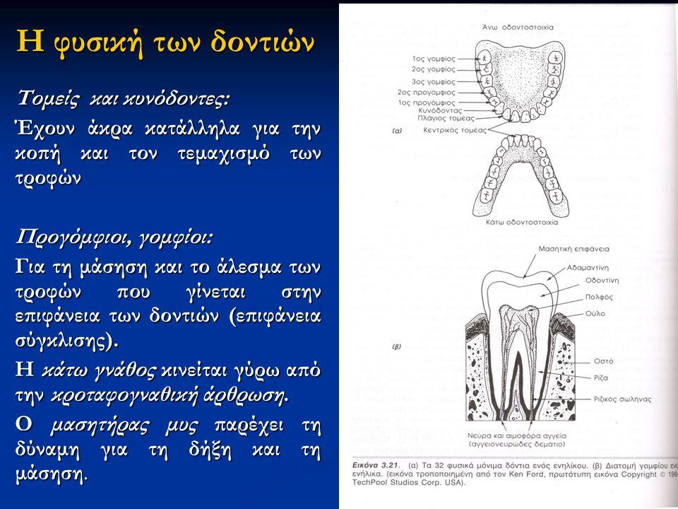 Η φυσική των δοντιών Τομείς και κυνόδοντες: Έχουν άκρα κατάλληλα για την κοπή και τον τεμαχισμό των τροφών Προγόμφιοι, γομφίοι: Για τη μάσηση και το άλεσμα των τροφών που γίνεται στην επιφάνεια των δοντιών (επιφάνεια σύγκλισης).