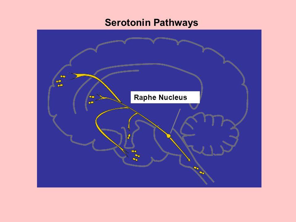 Serotonin Pathways Raphe Nucleus