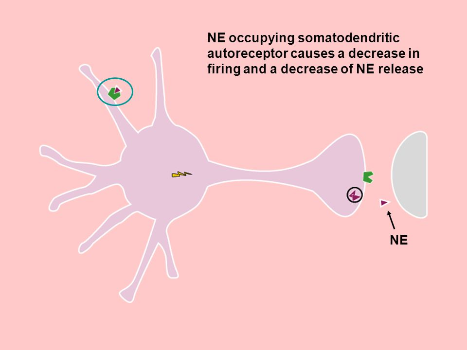 NE occupying somatodendritic autoreceptor causes a decrease in firing and a decrease of NE release NE