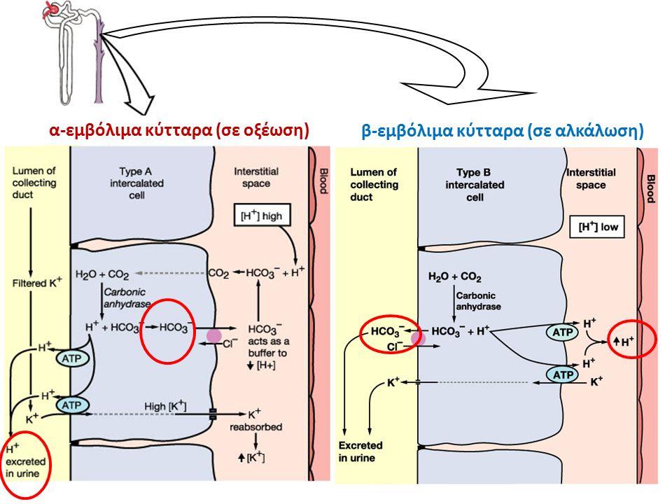 α-εμβόλιμα κύτταρα (σε οξέωση) β-εμβόλιμα κύτταρα (σε αλκάλωση)