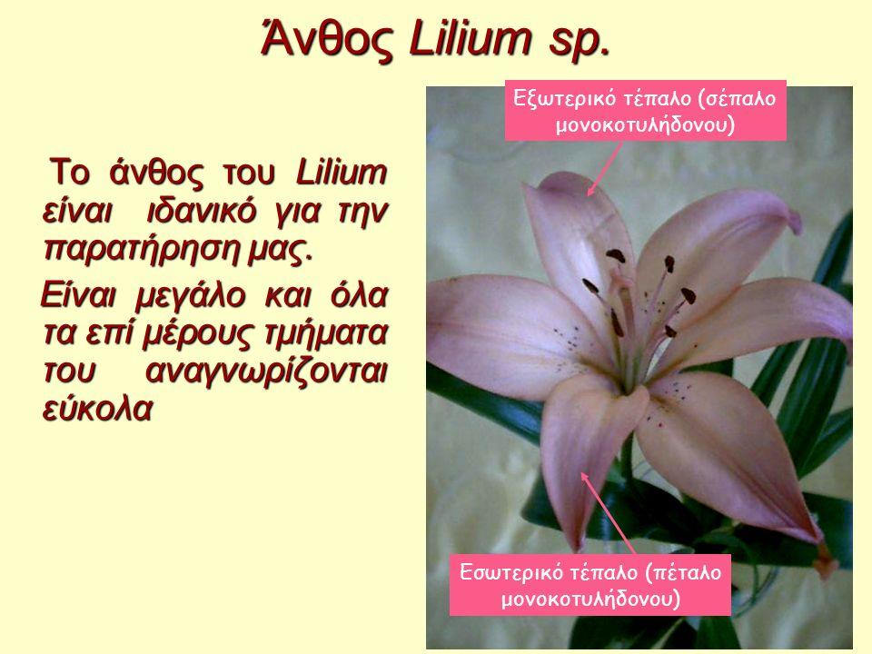 Άνθος Lilium sp. Το άνθος του Lilium είναι ιδανικό για την παρατήρηση μας. Το άνθος του Lilium είναι ιδανικό για την παρατήρηση μας. Είναι μεγάλο και