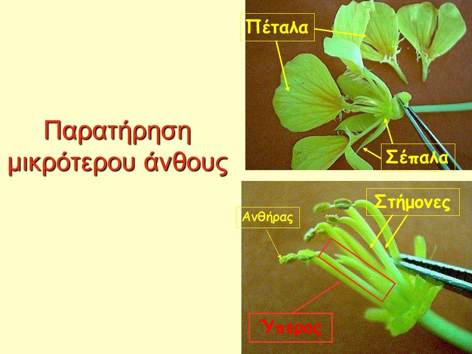 Παρατήρηση μικρότερου άνθους Πέταλα Σέπαλα Στήμονες Ύπερος Ανθήρας