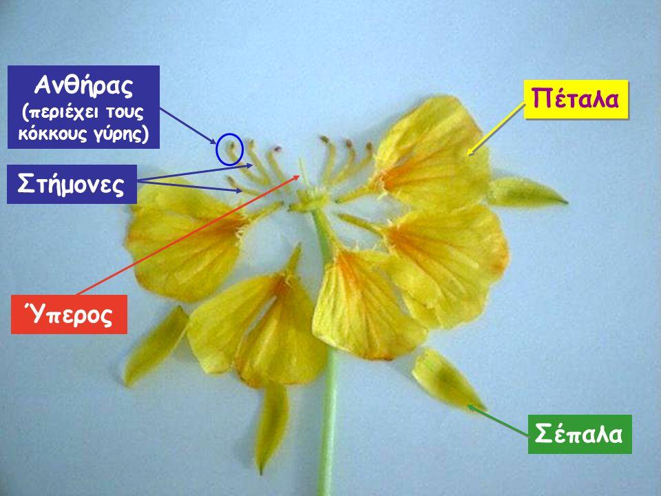Ύπερος Σέπαλα Πέταλα Ανθήρας (περιέχει τους κόκκους γύρης) Στήμονες