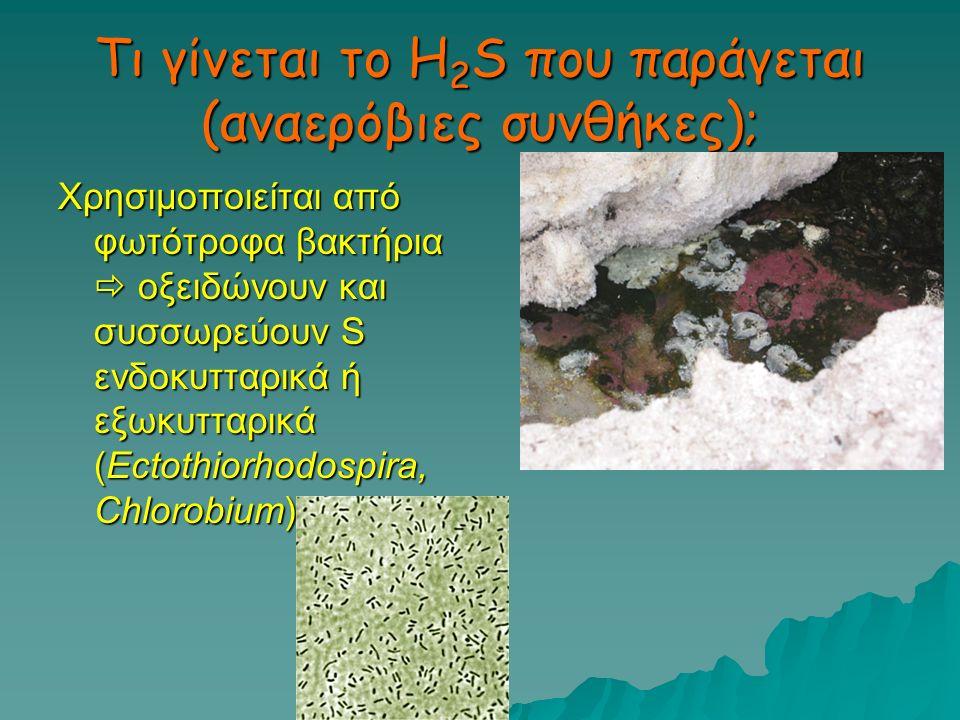 Τι γίνεται το H 2 S που παράγεται (αναερόβιες συνθήκες); Χρησιμοποιείται από φωτότροφα βακτήρια  οξειδώνουν και συσσωρεύουν S ενδοκυτταρικά ή εξωκυττ