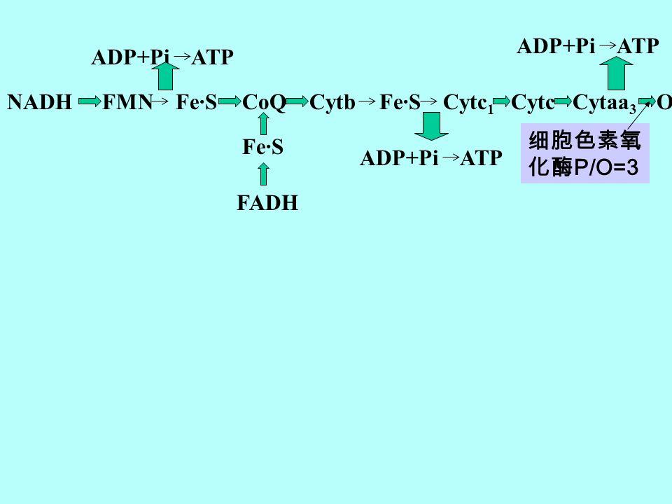 NADHFMN Fe·SCoQCytb Fe·S Cytc 1 CytcCytaa 3 O2O2 ADP+Pi ATP Fe·S FADH 细胞色素氧 化酶 P/O=3