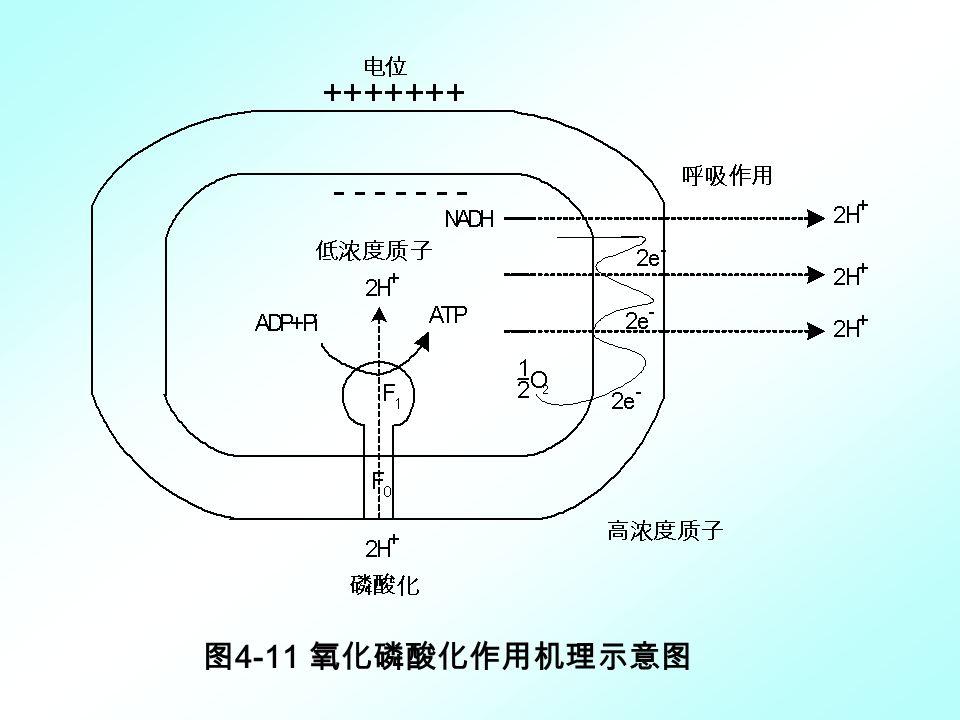图 4-11 氧化磷酸化作用机理示意图