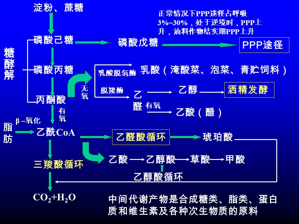淀粉、蔗糖 磷酸己糖 磷酸丙糖 丙酮酸 乙酰 CoA 三羧酸循环 CO 2 +H 2 O 磷酸戊糖 PPP 途径 中间代谢产物是合成糖类、脂类、蛋白 质和维生素及各种次生物质的原料 正常情况下 PPP 途径占呼吸 3%~30% ,处于逆境时, PPP 上 升,油料作物结实期 PPP 上升 脂肪脂肪 β – 氧化 乳酸脱氢酶 脱羧酶 乳酸(淹酸菜、泡菜、青贮饲料) 乙醛乙醛 乙醇 洒精发酵 有氧 乙酸(醋) 乙醛酸循环 乙酸乙醇酸草酸甲酸 琥珀酸 乙醇酸循环