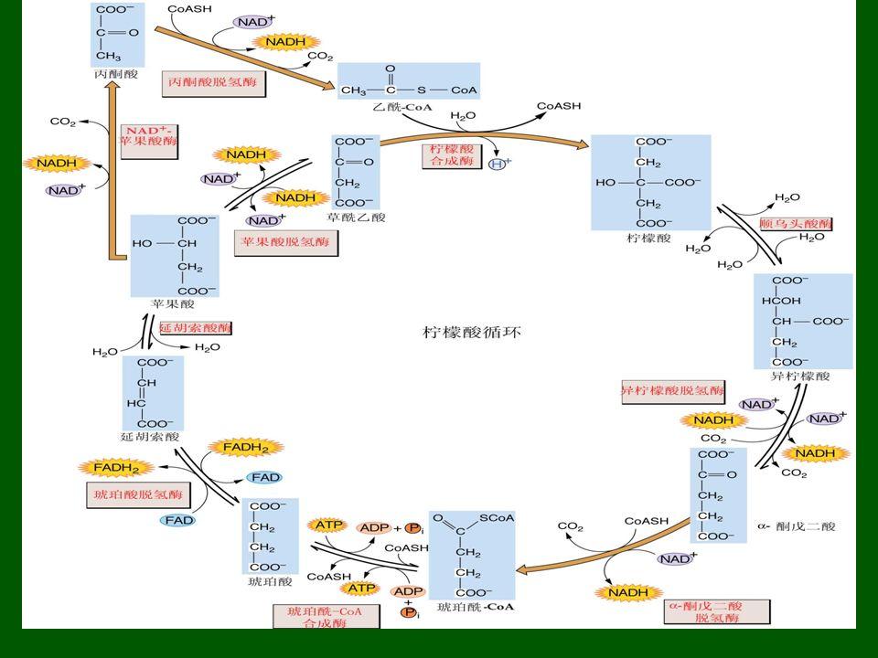 (三)三羧酸循环的特点和生理意义 1.TCA 循环是生物体利用糖或其它物质氧化 获得能量的有效途径。 2.
