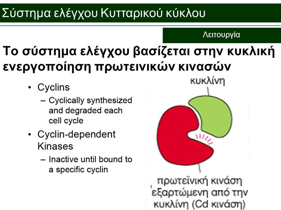 Σύστημα ελέγχου Κυτταρικού κύκλου Λειτουργία Το σύστημα ελέγχου βασίζεται στην κυκλική ενεργοποίηση πρωτεινικών κινασών