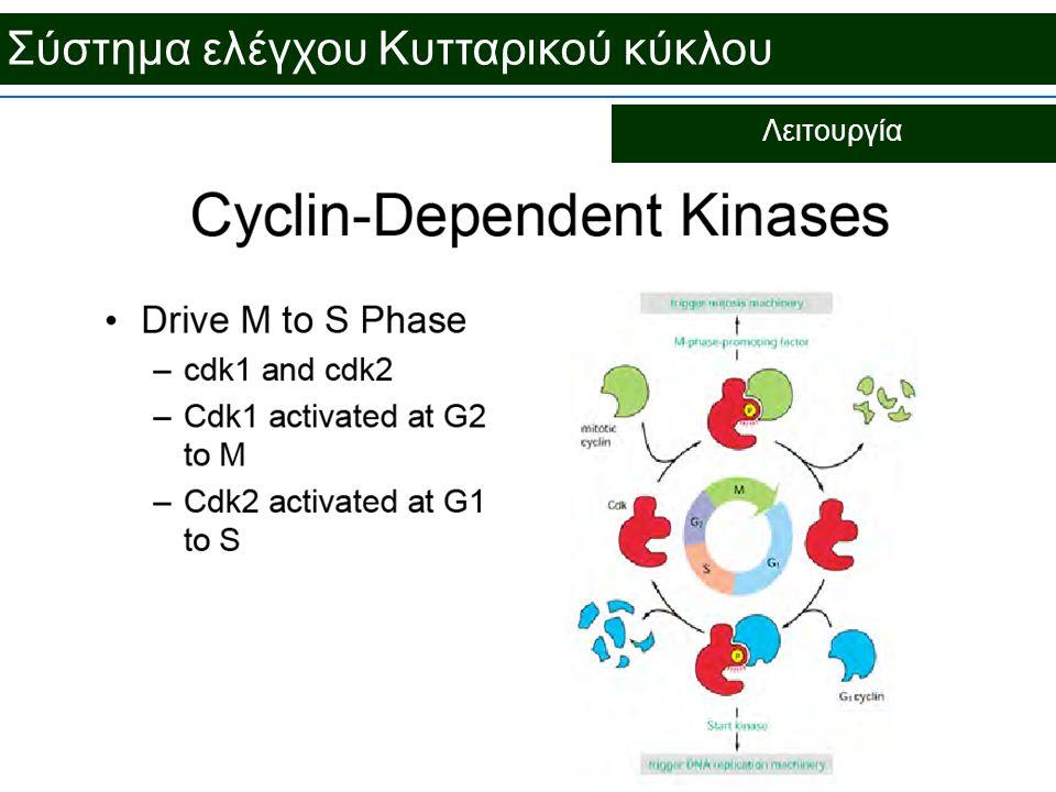 Σύστημα ελέγχου Κυτταρικού κύκλου Λειτουργία