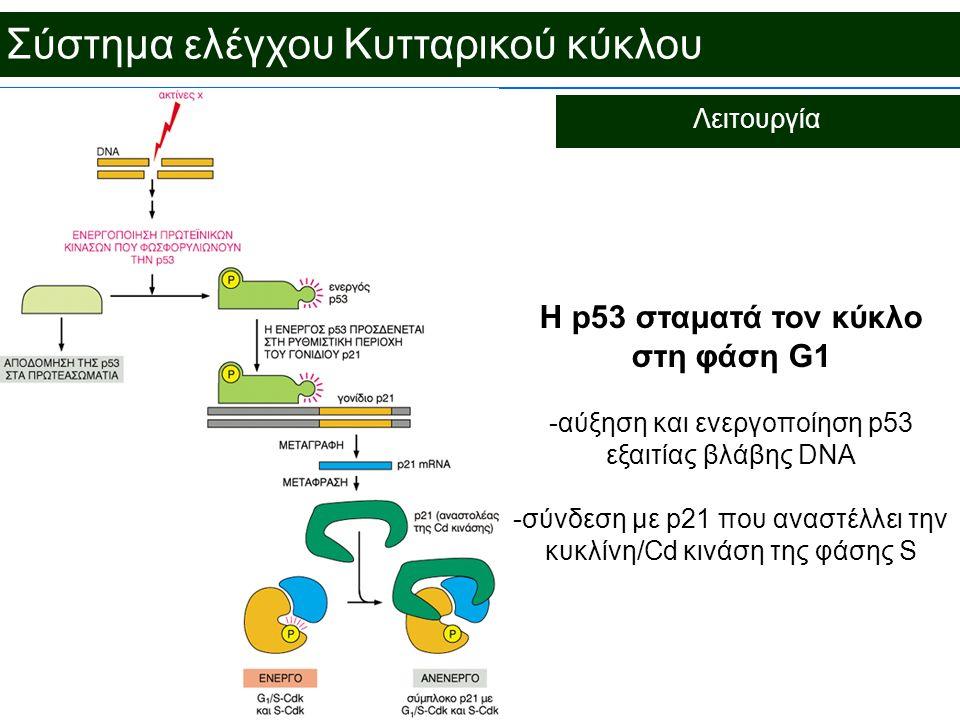 Σύστημα ελέγχου Κυτταρικού κύκλου Λειτουργία H p53 σταματά τον κύκλο στη φάση G1 -αύξηση και ενεργοποίηση p53 εξαιτίας βλάβης DNA -σύνδεση με p21 που