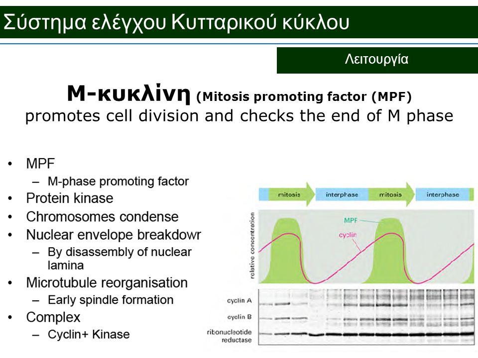 Σύστημα ελέγχου Κυτταρικού κύκλου Λειτουργία M-κυκλίνη (Mitosis promoting factor (MPF) promotes cell division and checks the end of M phase