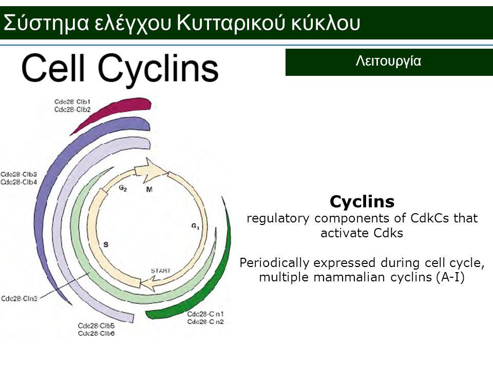 Σύστημα ελέγχου Κυτταρικού κύκλου Λειτουργία Cyclins regulatory components of CdkCs that activate Cdks Periodically expressed during cell cycle, multi