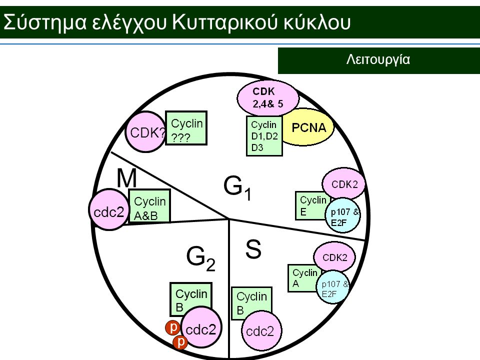 Σύστημα ελέγχου Κυτταρικού κύκλου Λειτουργία G1G1 G2G2 M S Cyclin B cdc2 Cyclin B cdc2 p p Cyclin A&B cdc2 CDK? Cyclin ???