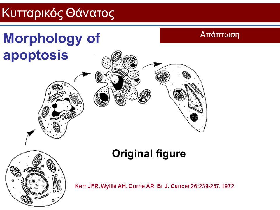 Κυτταρικός Θάνατος Απόπτωση Original figure Kerr JFR, Wyllie AH, Currie AR. Br J. Cancer 26:239-257, 1972 Morphology of apoptosis