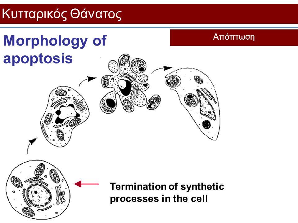 Κυτταρικός Θάνατος Απόπτωση Morphology of apoptosis Termination of synthetic processes in the cell