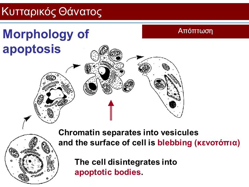 Κυτταρικός Θάνατος Απόπτωση Morphology of apoptosis Chromatin separates into vesicules and the surface of cell is blebbing (κενοτόπια) The cell disint