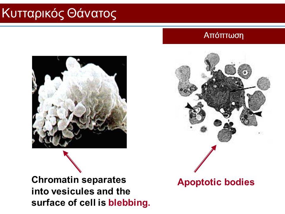 Κυτταρικός Θάνατος Απόπτωση Chromatin separates into vesicules and the surface of cell is blebbing. Apoptotic bodies