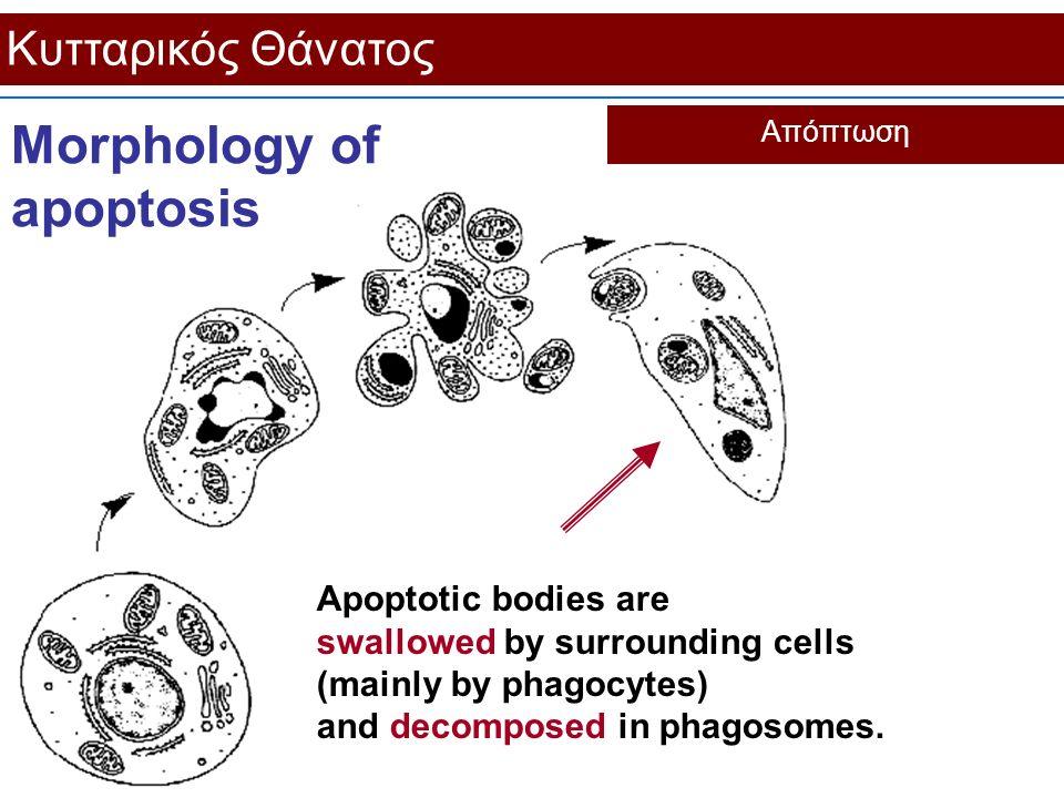 Κυτταρικός Θάνατος Απόπτωση Morphology of apoptosis Apoptotic bodies are swallowed by surrounding cells (mainly by phagocytes) and decomposed in phago