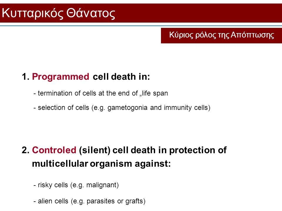 """Κυτταρικός Θάνατος Κύριος ρόλος της Απόπτωσης 1. Programmed cell death in: - termination of cells at the end of """"life span - selection of cells (e.g."""