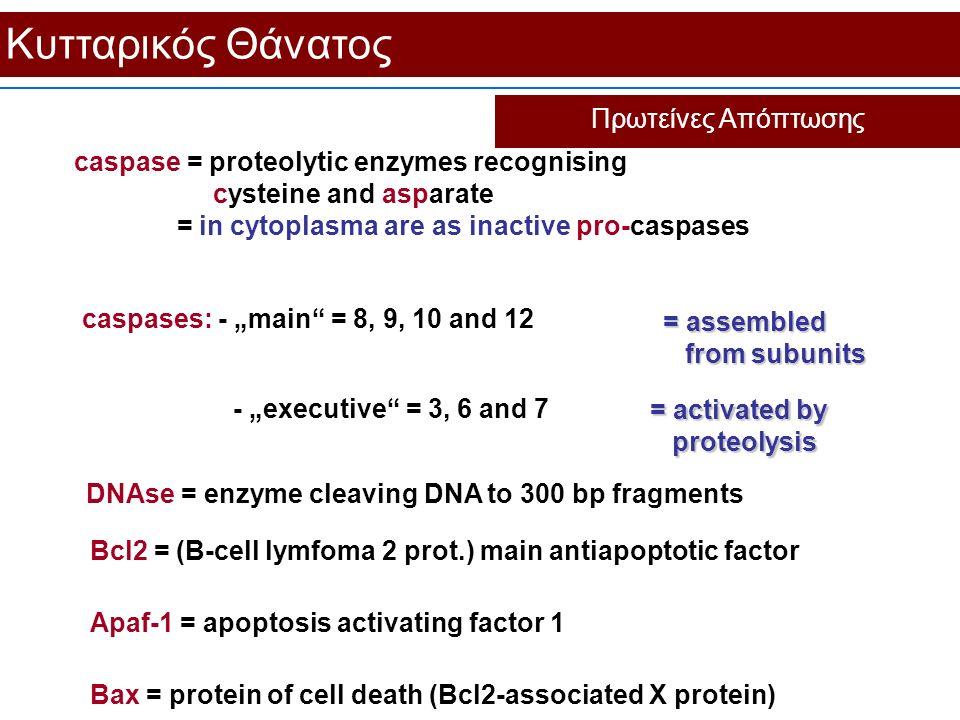 Κυτταρικός Θάνατος Πρωτείνες Aπόπτωσης caspase = proteolytic enzymes recognising cysteine and asparate = in cytoplasma are as inactive pro-caspases Bc