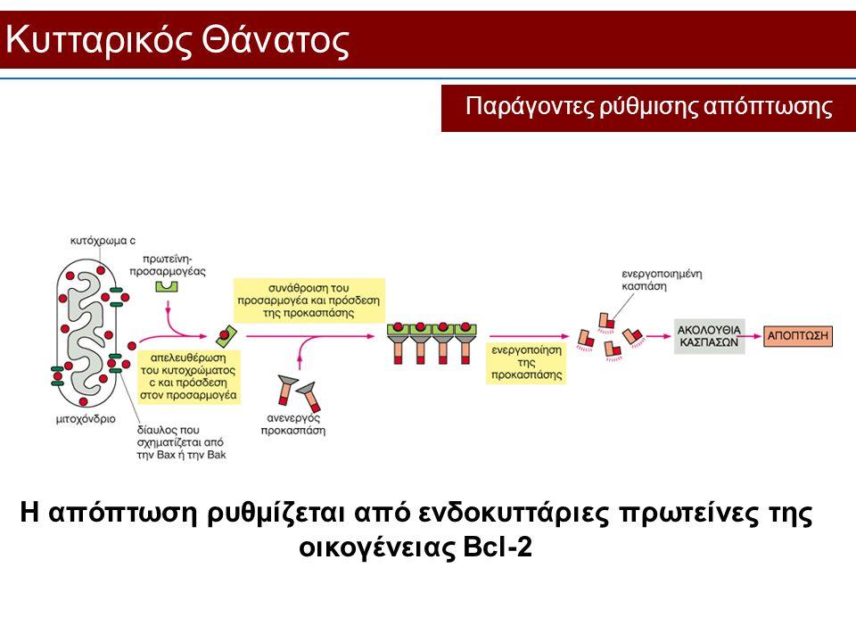Κυτταρικός Θάνατος Παράγοντες ρύθμισης απόπτωσης Η απόπτωση ρυθμίζεται από ενδοκυττάριες πρωτείνες της οικογένειας Bcl-2
