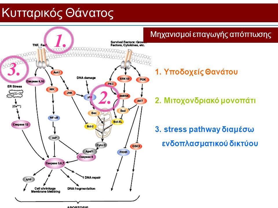 Κυτταρικός Θάνατος Μηχανισμοί επαγωγής απόπτωσης 3. 2. 1. 1. Υποδοχείς Θανάτου 2. Μιτοχονδριακό μονοπάτι 3. stress pathway διαμέσω ενδοπλασματικού δικ