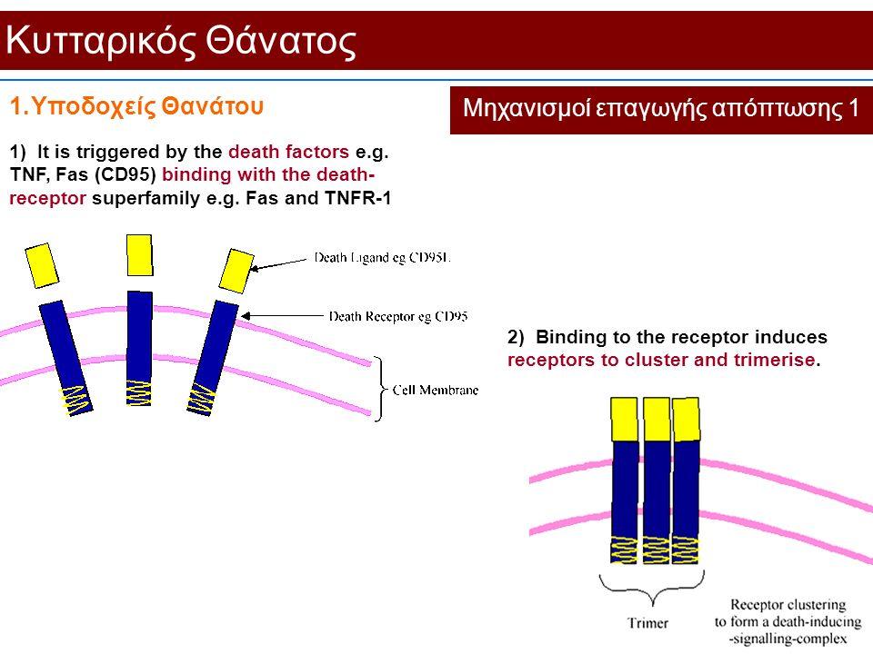 Κυτταρικός Θάνατος Μηχανισμοί επαγωγής απόπτωσης 1 1.Υποδοχείς Θανάτου 1) It is triggered by the death factors e.g. TNF, Fas (CD95) binding with the d