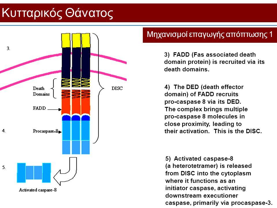 Κυτταρικός Θάνατος Μηχανισμοί επαγωγής απόπτωσης 1 5) Activated caspase-8 (a heterotetramer) is released from DISC into the cytoplasm where it functio