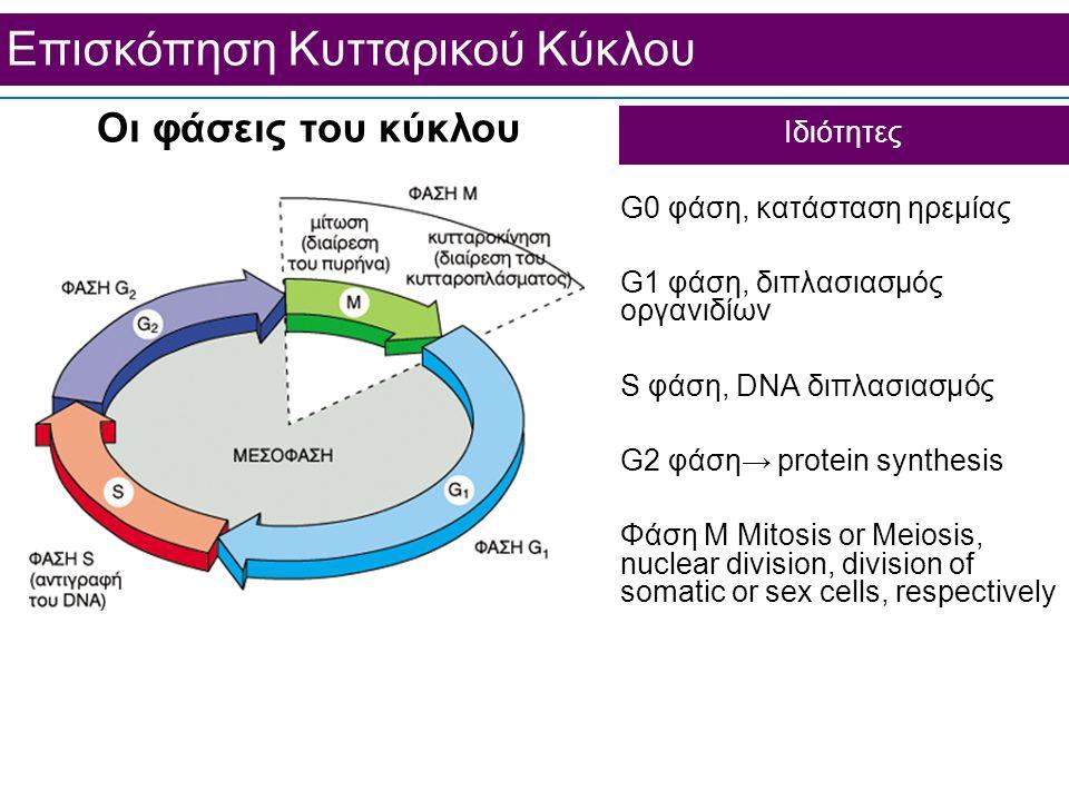 Επισκόπηση Κυτταρικού Κύκλου Ιδιότητες Οι φάσεις του κύκλου G0 φάση, κατάσταση ηρεμίας G1 φάση, διπλασιασμός οργανιδίων S φάση, DNA διπλασιασμός G2 φά