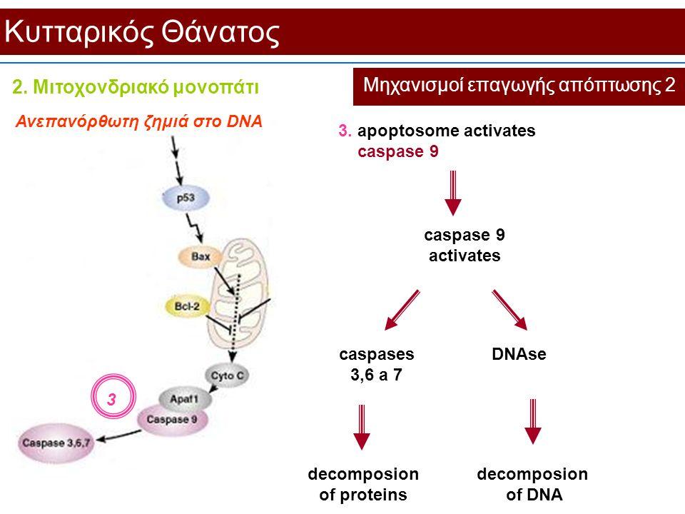 Κυτταρικός Θάνατος Μηχανισμοί επαγωγής απόπτωσης 2 3. apoptosome activates caspase 9 Ανεπανόρθωτη ζημιά στο DNA 3 caspase 9 activates caspases 3,6 a 7