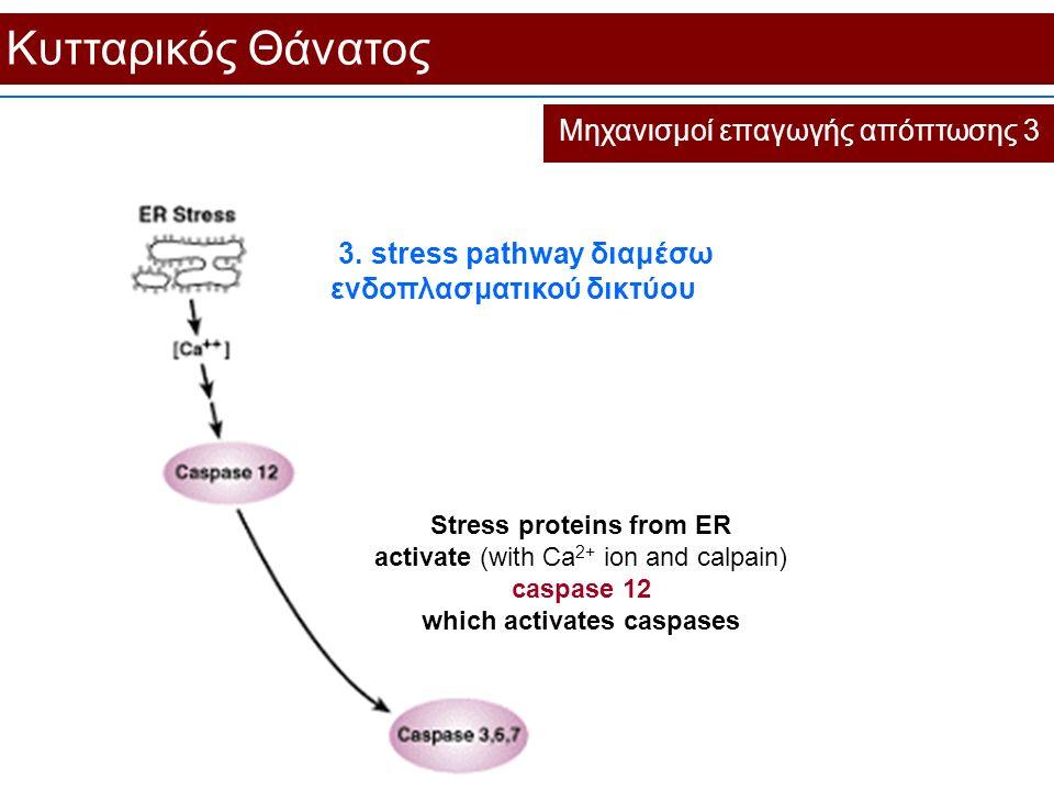 Κυτταρικός Θάνατος Μηχανισμοί επαγωγής απόπτωσης 3 Stress proteins from ER activate (with Ca 2+ ion and calpain) caspase 12 which activates caspases 3