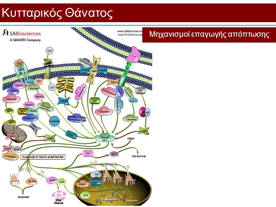Κυτταρικός Θάνατος Μηχανισμοί επαγωγής απόπτωσης