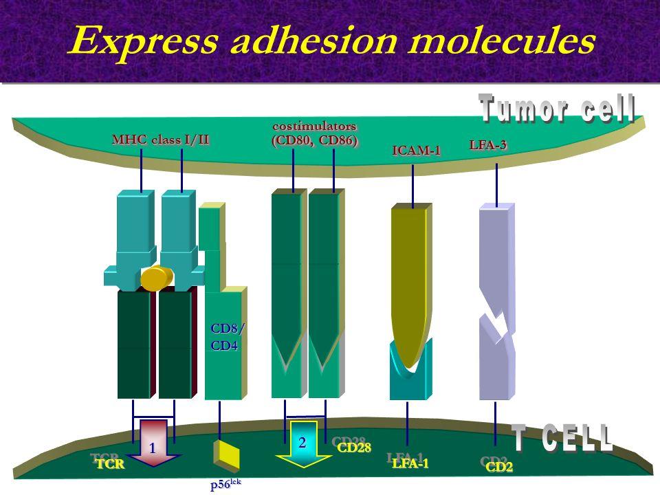 Express adhesion molecules TCRTCR 1 2 p56 lck LFA-1LFA-1 CD2CD2 ICAM-1ICAM-1 LFA-3LFA-3 CD28CD28 MHC class I/II costimulators (CD80, CD86) costimulato
