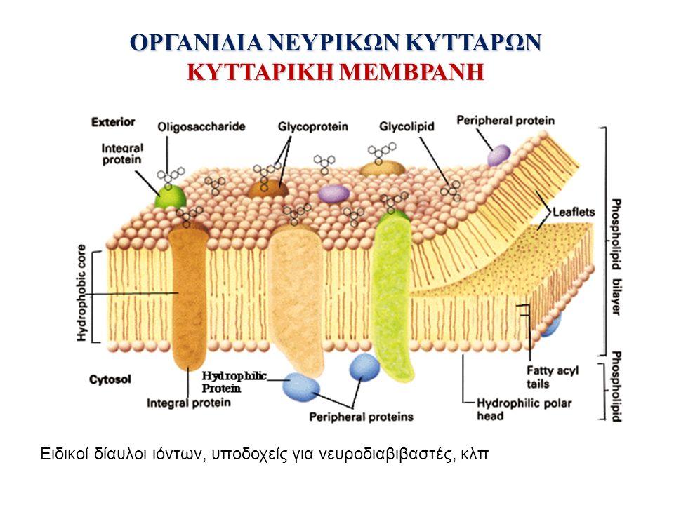 ΟΡΓΑΝΙΔΙΑ ΝΕΥΡΙΚΩΝ ΚΥΤΤΑΡΩΝ ΚΥΤΤΑΡΙΚΗ ΜΕΜΒΡΑΝΗ Ειδικοί δίαυλοι ιόντων, υποδοχείς για νευροδιαβιβαστές, κλπ
