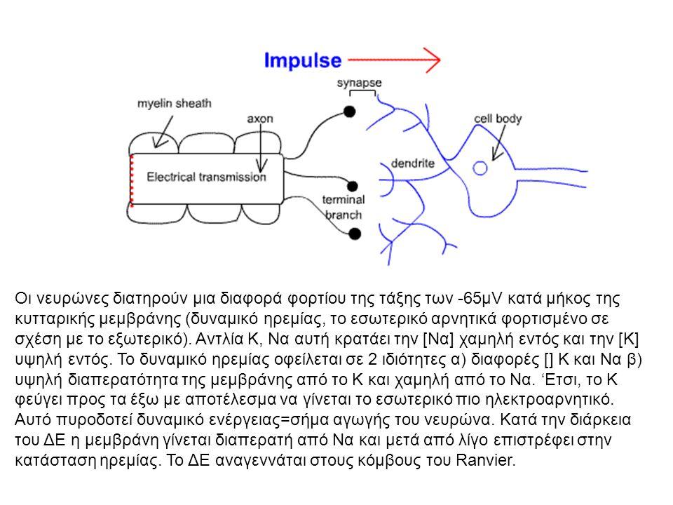 Οι νευρώνες διατηρούν μια διαφορά φορτίου της τάξης των -65μV κατά μήκος της κυτταρικής μεμβράνης (δυναμικό ηρεμίας, το εσωτερικό αρνητικά φορτισμένο σε σχέση με το εξωτερικό).