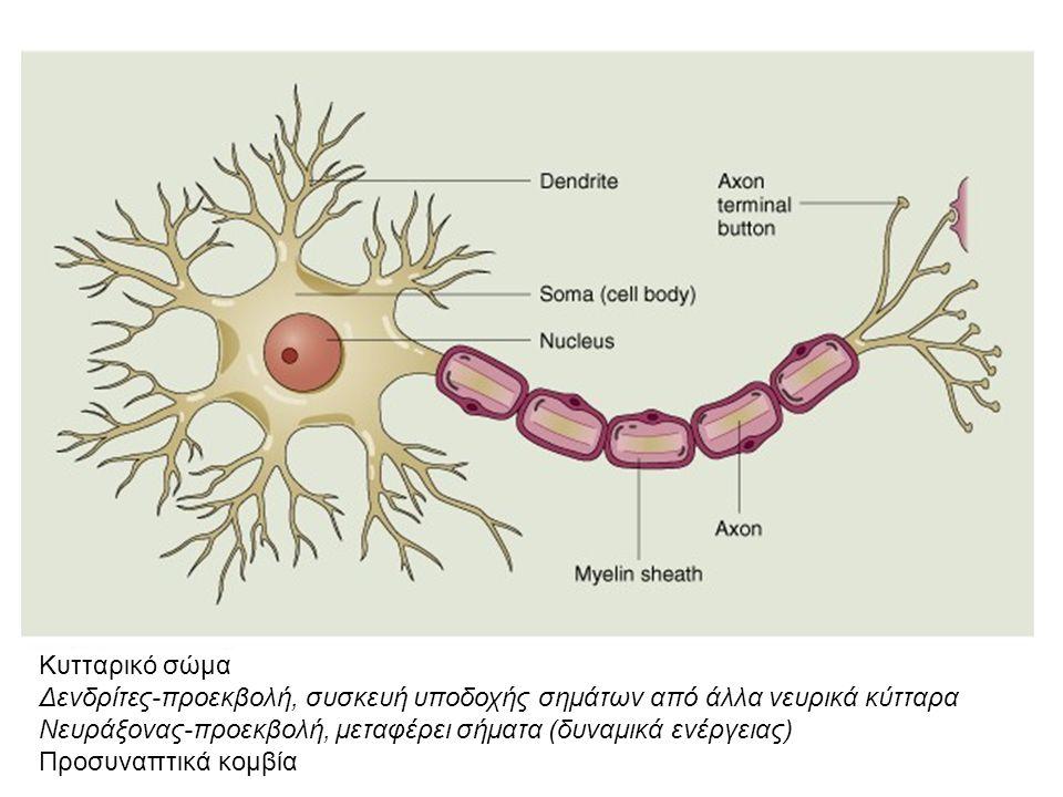 Κυτταρικό σώμα Δενδρίτες-προεκβολή, συσκευή υποδοχής σημάτων από άλλα νευρικά κύτταρα Νευράξονας-προεκβολή, μεταφέρει σήματα (δυναμικά ενέργειας) Προσυναπτικά κομβία