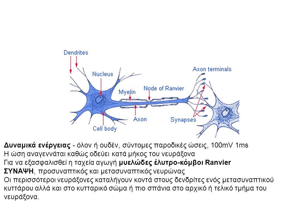 Δυναμικά ενέργειας - όλον ή ουδέν, σύντομες παροδικές ώσεις, 100mV 1ms Η ώση αναγεννάται καθώς οδεύει κατά μήκος του νευράξονα Για να εξασφαλισθεί η ταχεία αγωγή μυελώδες έλυτρο-κόμβοι Ranvier ΣΥΝΑΨΗ, προσυναπτικός και μετασυναπτικός νευρώνας Οι περισσότεροι νευράξονες καταλήγουν κοντά στους δενδρίτες ενός μετασυναπτικού κυττάρου αλλά και στο κυτταρικό σώμα ή πιο σπάνια στο αρχικό ή τελικό τμήμα του νευράξονα.