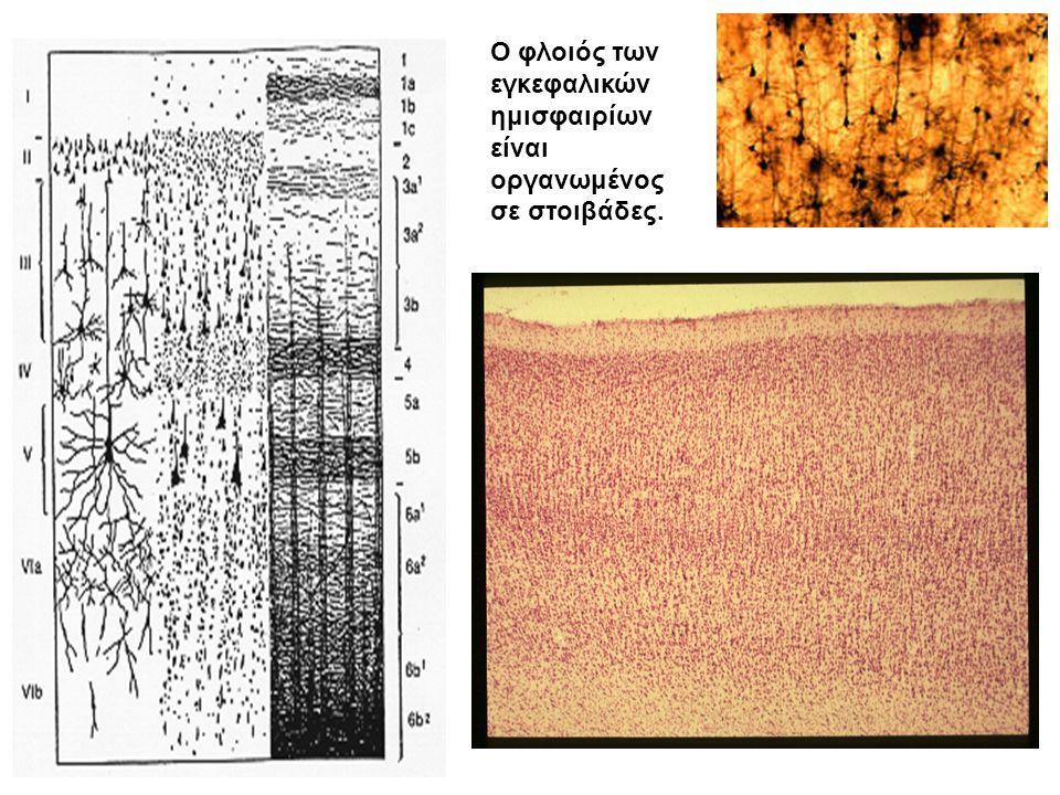 Ο φλοιός των εγκεφαλικών ημισφαιρίων είναι οργανωμένος σε στοιβάδες.