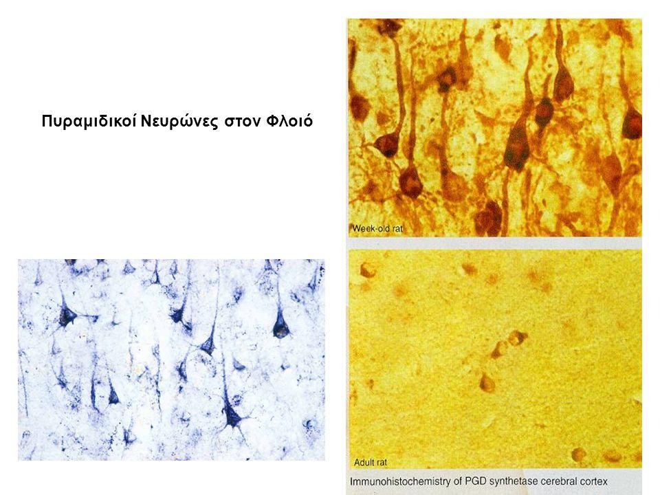 Πυραμιδικοί Νευρώνες στον Φλοιό