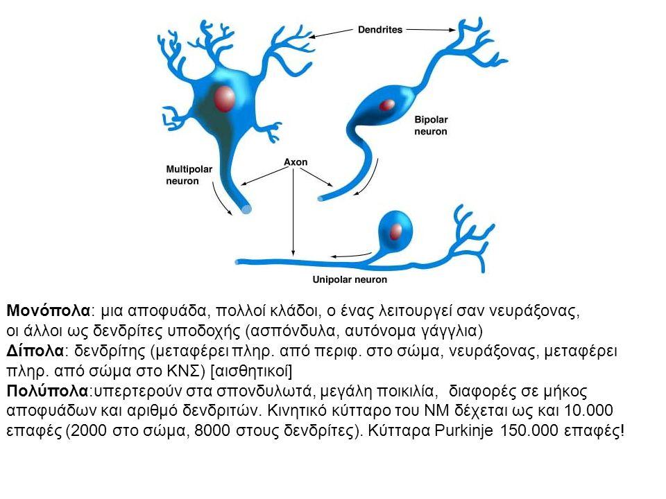Μονόπολα: μια αποφυάδα, πολλοί κλάδοι, ο ένας λειτουργεί σαν νευράξονας, οι άλλοι ως δενδρίτες υποδοχής (ασπόνδυλα, αυτόνομα γάγγλια) Δίπολα: δενδρίτης (μεταφέρει πληρ.