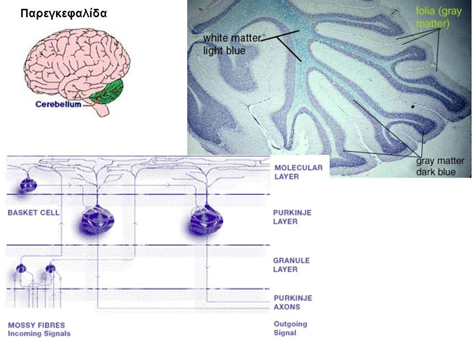 Παρεγκεφαλίδα