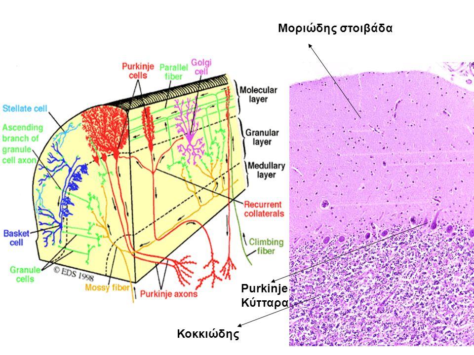 Μοριώδης στοιβάδα Κοκκιώδης Purkinje Κύτταρα
