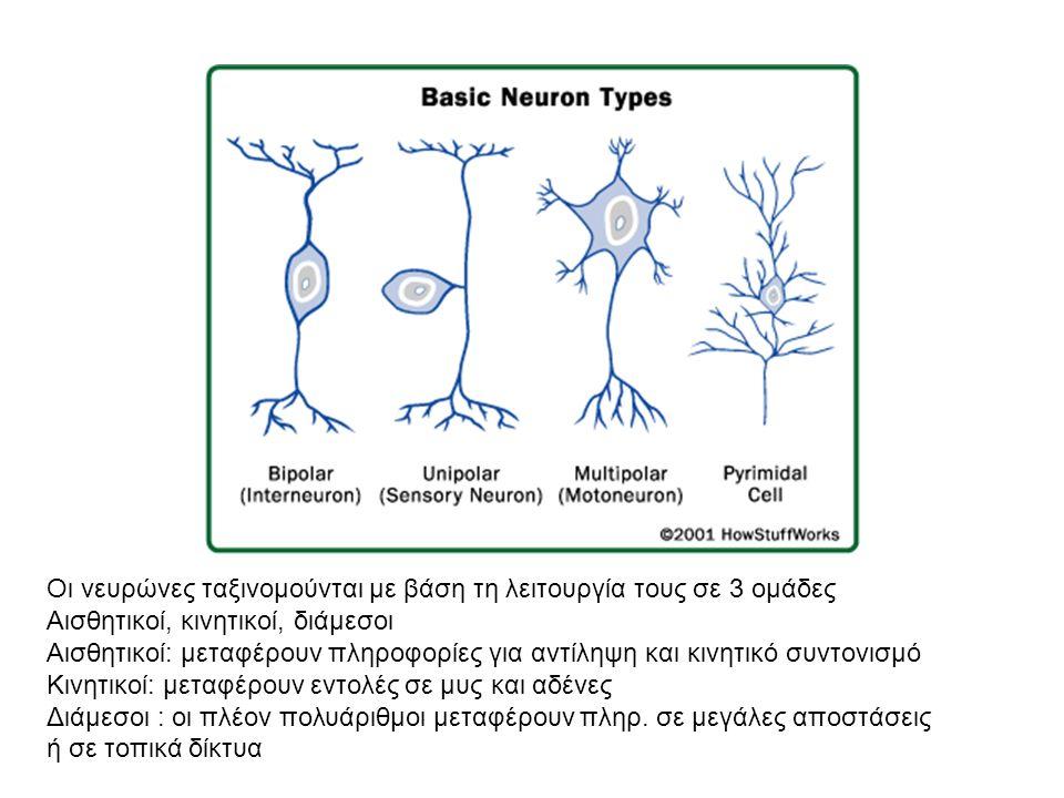 Οι νευρώνες ταξινομούνται με βάση τη λειτουργία τους σε 3 ομάδες Αισθητικοί, κινητικοί, διάμεσοι Αισθητικοί: μεταφέρουν πληροφορίες για αντίληψη και κινητικό συντονισμό Κινητικοί: μεταφέρουν εντολές σε μυς και αδένες Διάμεσοι : οι πλέον πολυάριθμοι μεταφέρουν πληρ.