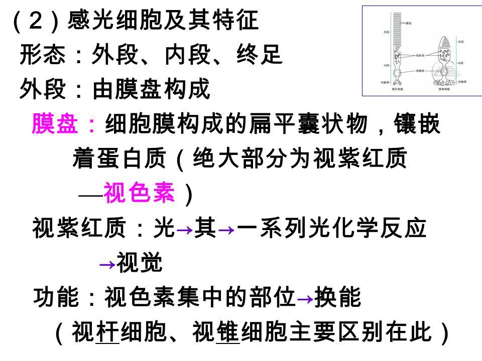 ( 2 )感光细胞及其特征 形态:外段、内段、终足 外段:由膜盘构成 膜盘:细胞膜构成的扁平囊状物,镶嵌 着蛋白质(绝大部分为视紫红质 — 视色素) 视紫红质:光 → 其 → 一系列光化学反应 → 视觉 功能:视色素集中的部位 → 换能 (视杆细胞、视锥细胞主要区别在此)