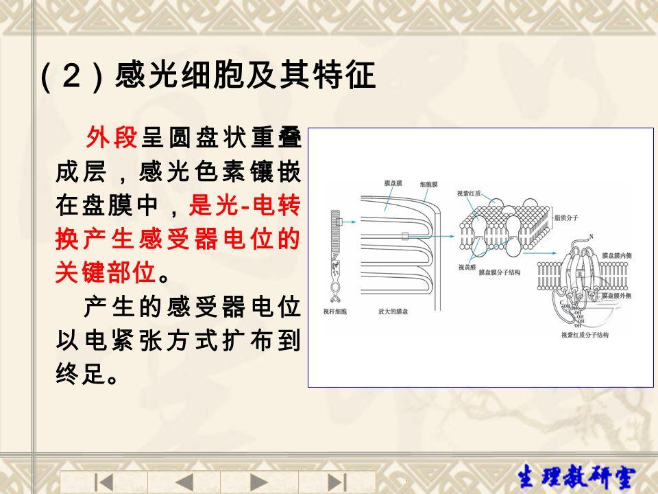 外段呈圆盘状重叠 成层,感光色素镶嵌 在盘膜中,是光 - 电转 换产生感受器电位的 关键部位。 产生的感受器电位 以电紧张方式扩布到 终足。 ( 2 )感光细胞及其特征