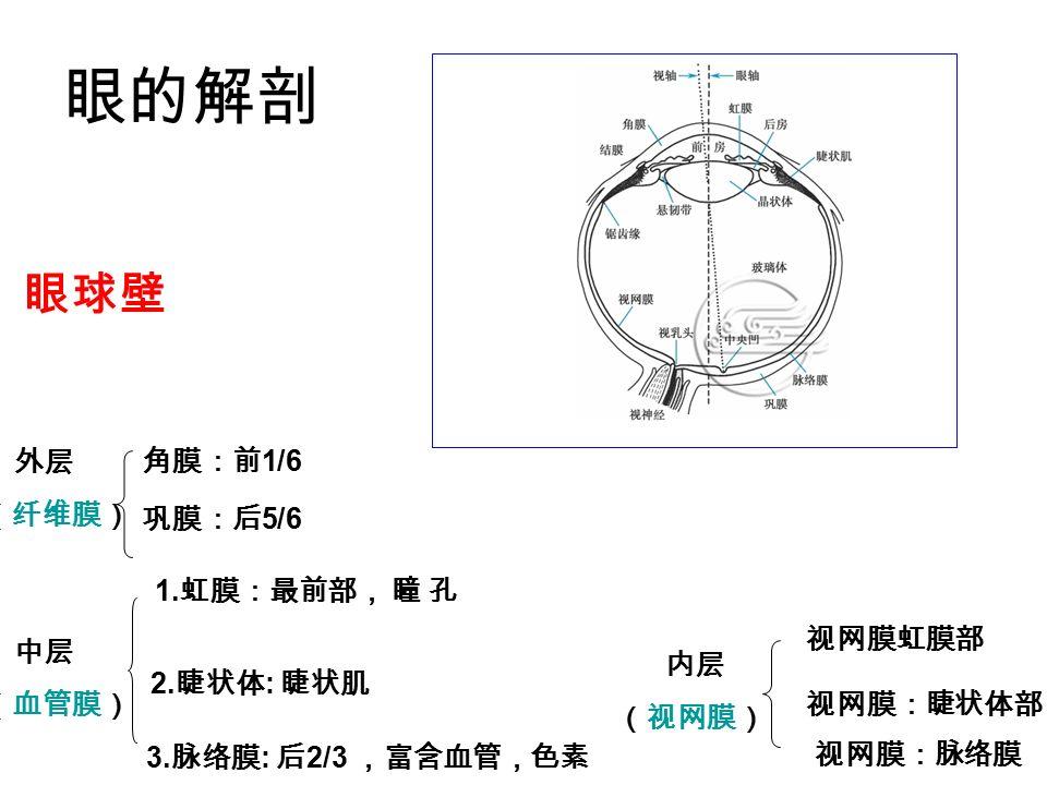 眼的解剖 外层 (纤维膜) 中层 (血管膜) 内层 (视网膜) 角膜:前 1/6 巩膜:后 5/6 1.