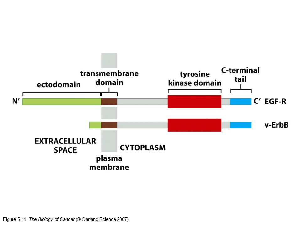Figure 5.11 The Biology of Cancer (© Garland Science 2007)